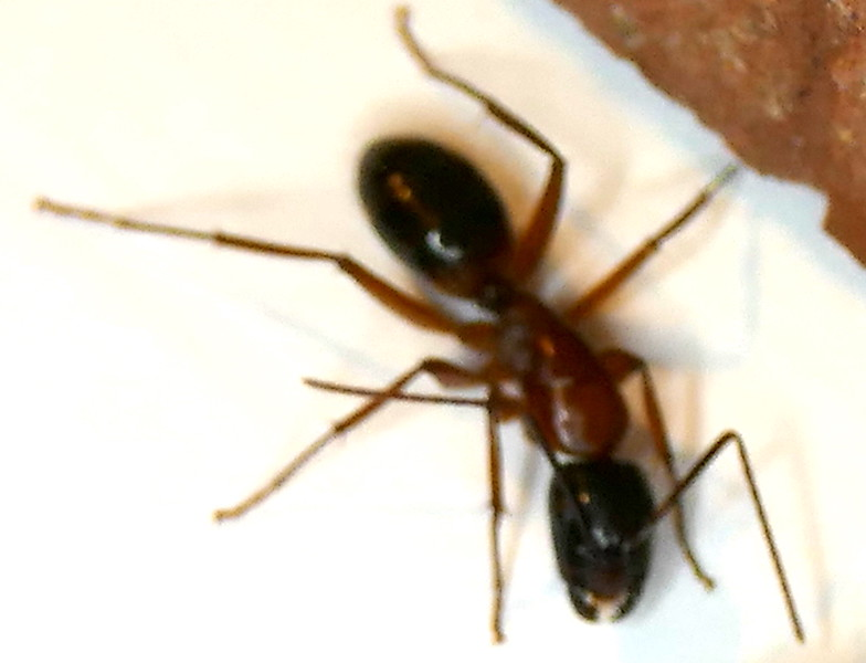 P179CamponotusSansabeanus114 Mar. 13, 2019  6:49 a.m.  P1790114 Carpenter Ant,-- Camponotus sansabeanus,, seen at entry lights at 2601.  Formicid.