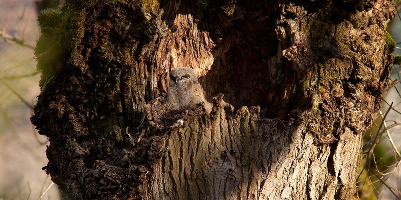 A young great horned owl gets ready to fledge from its nest in February.
