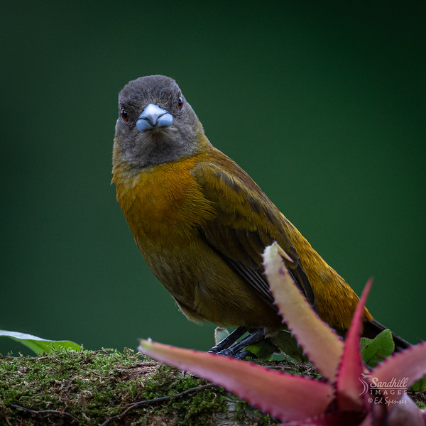 Red rumped tanager (Passerini's) female