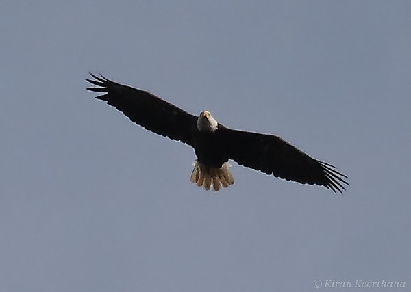 Adult Bald Eagle, Mason Neck state park, Virginia, June 2008