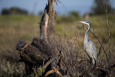 Herons Egrets & Bitterns