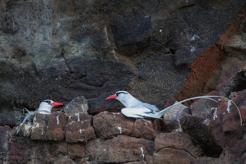Red-billed Tropicbird - Darwin Bay, Isla Genovesa, Galapagos, Ecuador