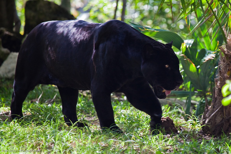 A black jaguar at the Xcaret Ecological park.