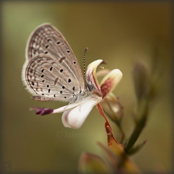 Spring Azur Butterfly .jpg