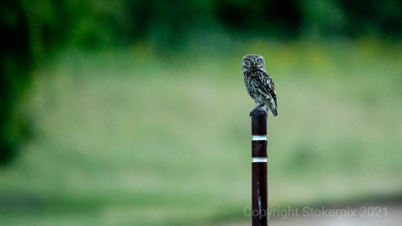 owl on a Post