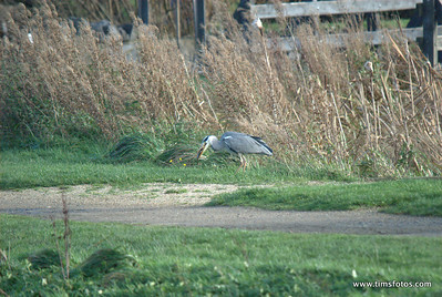 Corkagh Heron