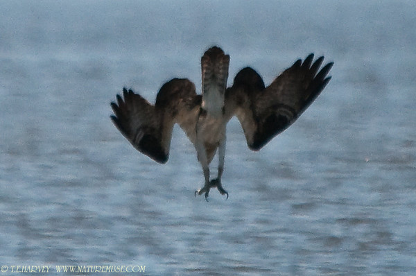 Osprey Dive & Catch
