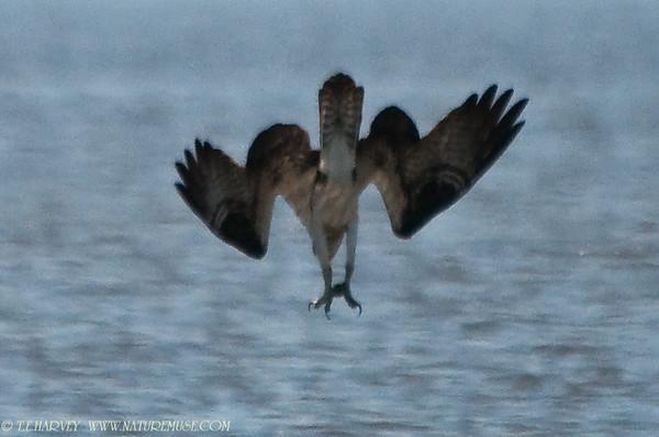 Osprey Dive & Catch