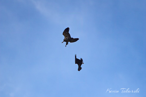 Young Bald Eagles Play