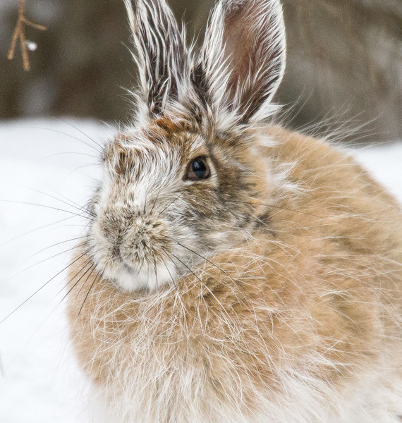 Snowshoe Hare Warren Nelson Memorial Bog Sax-Zim Bog MNIMG_0801.jpg
