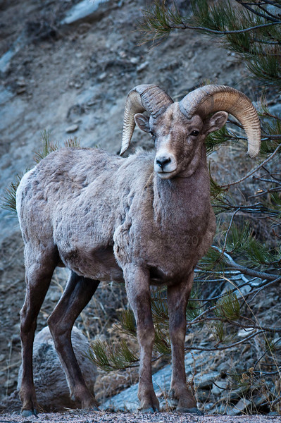On Alert Bighorn Sheep Ram Big Thompson Canyon, Colorado © 2011
