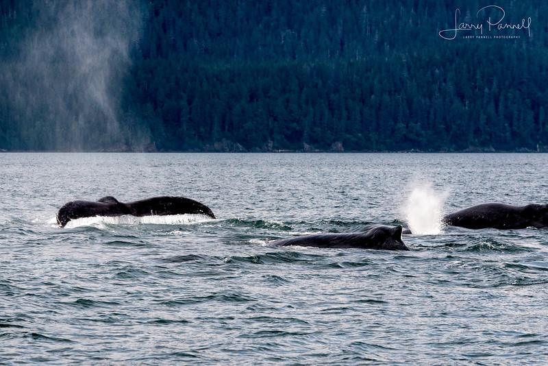 Juneau Whale Tails