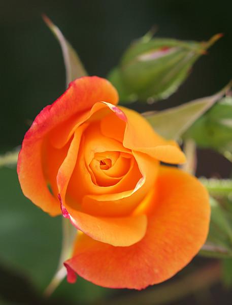 Rosebud opening.