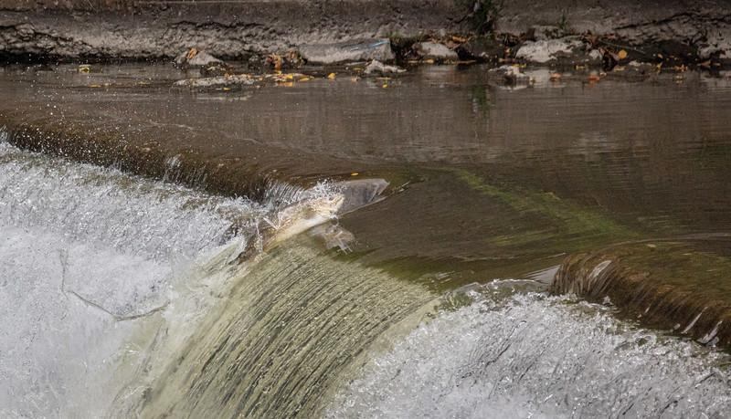 salmon upstream (27 of 48).jpg