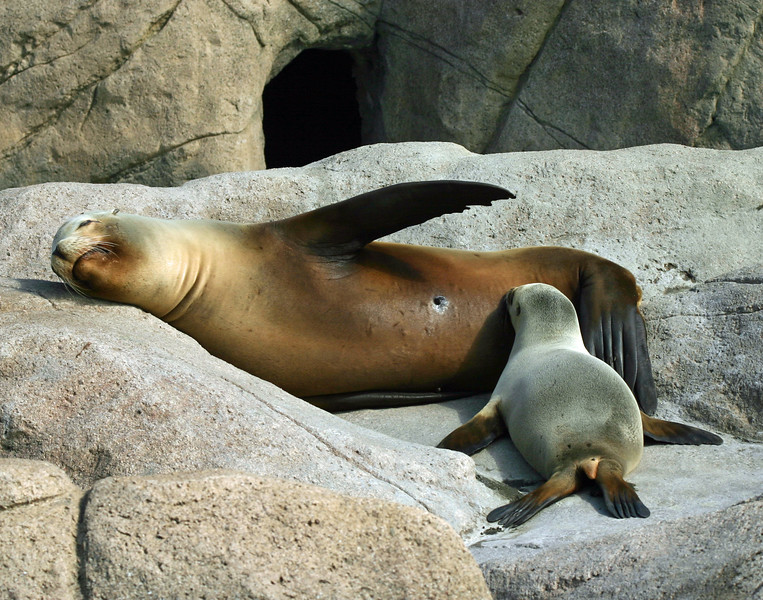 California sea lion mother & pup