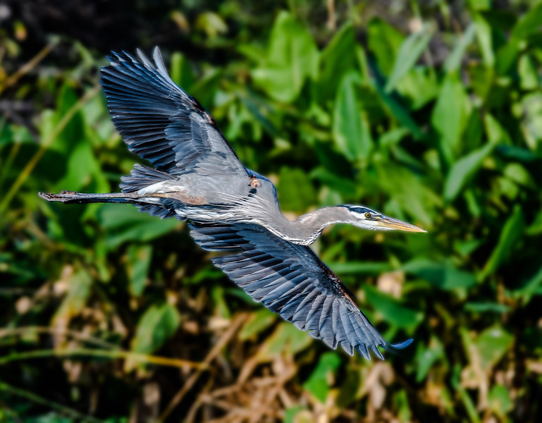 Great Blue Heron Flying-PSE Blurred_4801.jpg