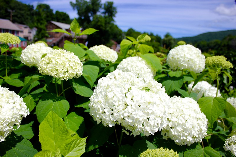 hydrangeas on Bridge of Flowers in Shelburne Falls, Massachusetts