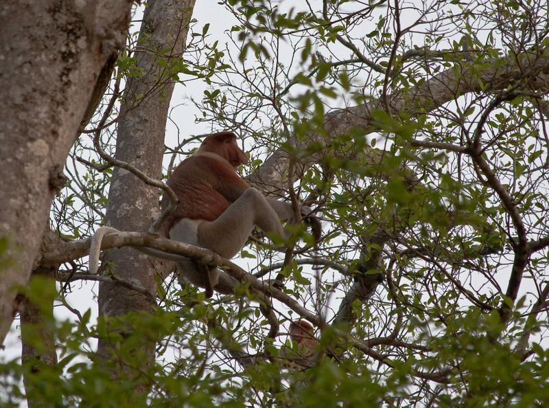 Proboscis monkey in Sungai Kinabatangan Wildlife Sanctuary