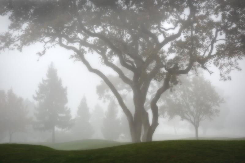 Foggy Green, Sonoma Valley, California