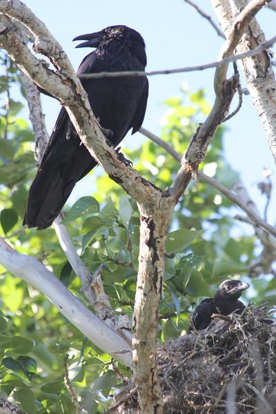 Resident Ravens!