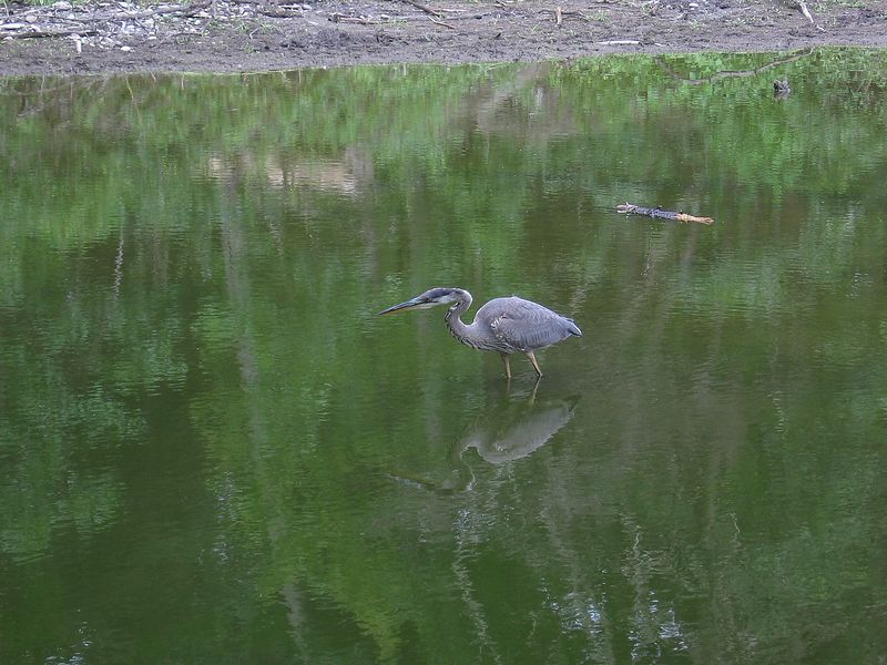 Great Blue Heron in High Park