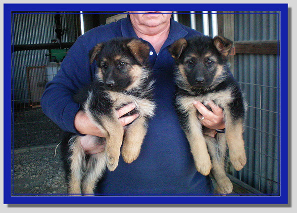 Sysco von Orumhaus #4 - Pups born Nov 2013