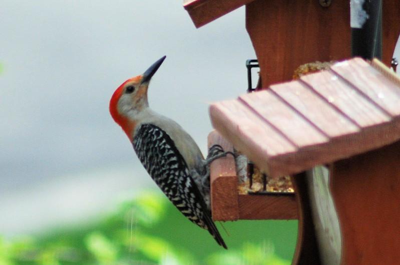 woodpecker9.jpg