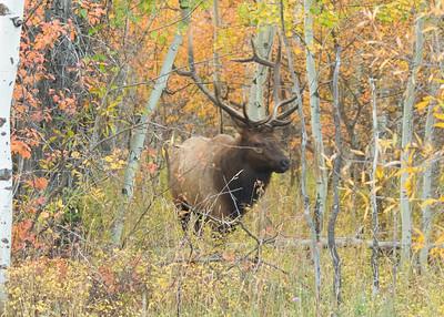 Elk Jackson Hole Fall