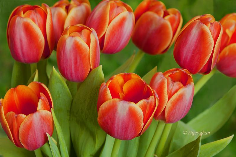 April 25_Tulips_7777.jpg