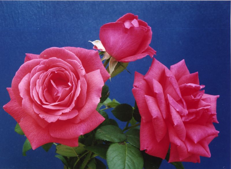 09Mar2005_17_Roses. Photograph taken by Dr Stephen Fong with Sigma SA-300N 35mm. Scanned with Epson Perfection 1200S