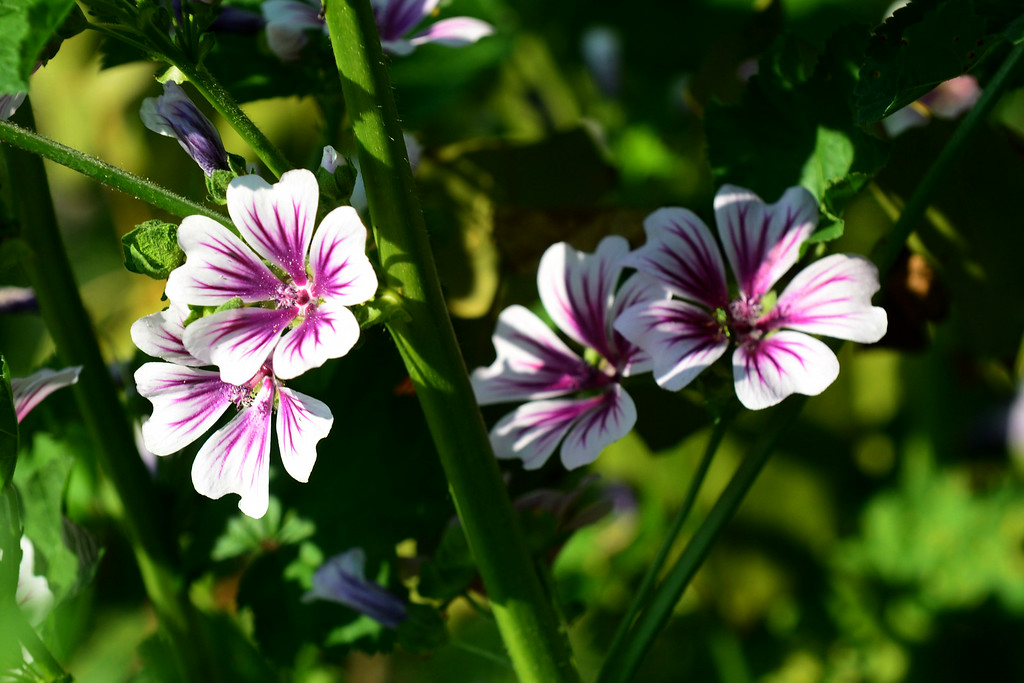 . PHOTO PETE BANNAN-  Birds brought the seeds of this flower, common mallow which some consider a weed. Terry Spadoni keeps them in her West Chester row home garden.