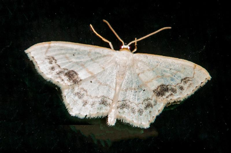Lace-border-Large-(Scopula limboundata)- Dunning Lake - Itasca County, MN