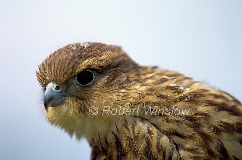 Merlin, Falco columbarius, Immature Female, North America, Controlled Conditions
