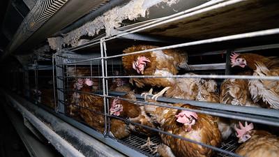 Élevage de poules pondeuses (Côtes d'Armor) - 2018