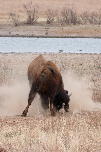 American Bison-17