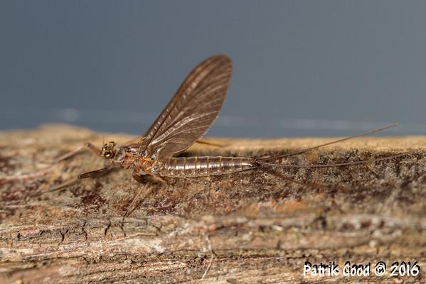 Various Mayflies