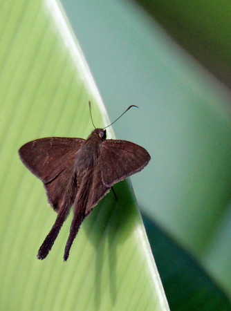 Longtail, Plain Longtail Butterfly