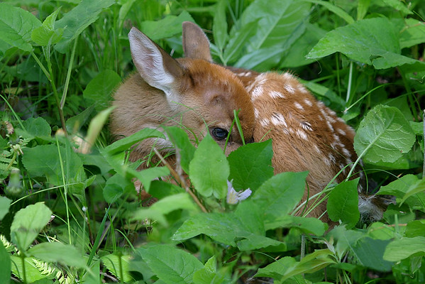 White Tail Deer & Fawns
