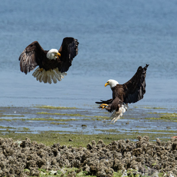 """Kung Fu Eagles"".  Along the Hood Canal near Seabeck, Washington."