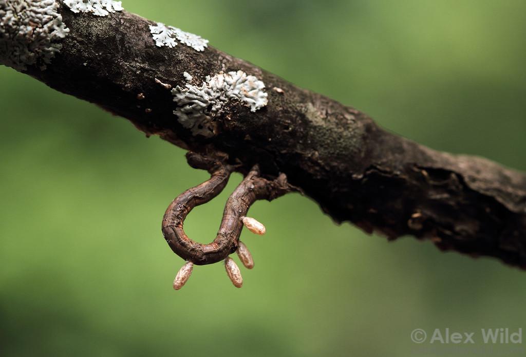 Macrogastrinae