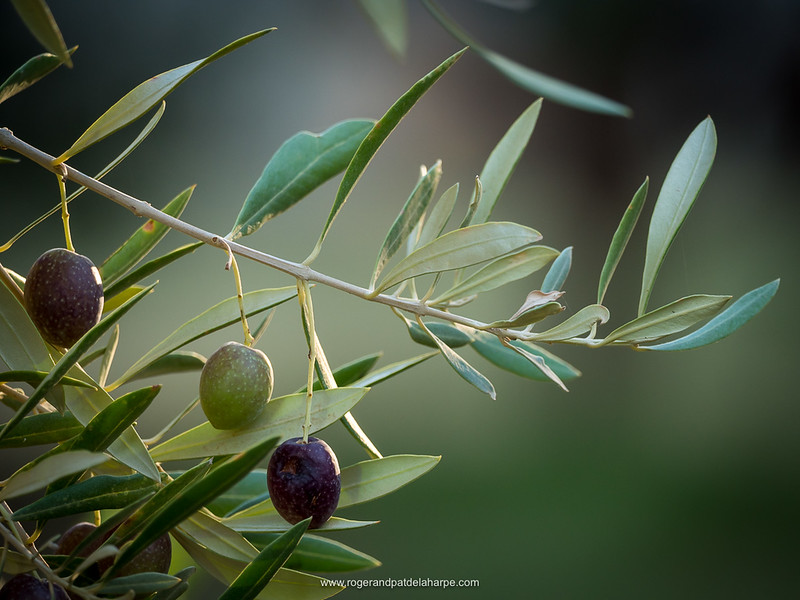 Olives on olive tree branch at Olienhof