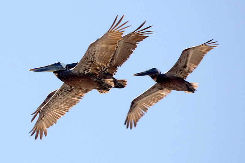 Three Brown Pelicans pass overhead in their triangle formation.