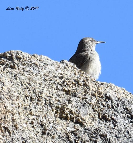 Rock Wren  - 02/27/2019 - Split Rock Trail, Joshua Tree Natl Park