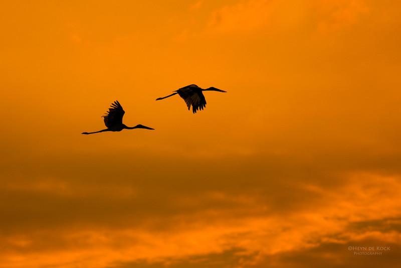 Black-necked Stork, Kakadu NP, NT, Oct 2010.jpg