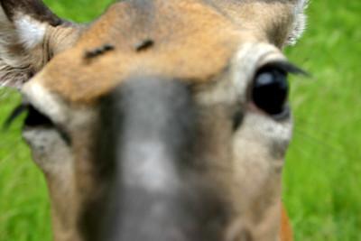 Skyline Drive Deer Encounters