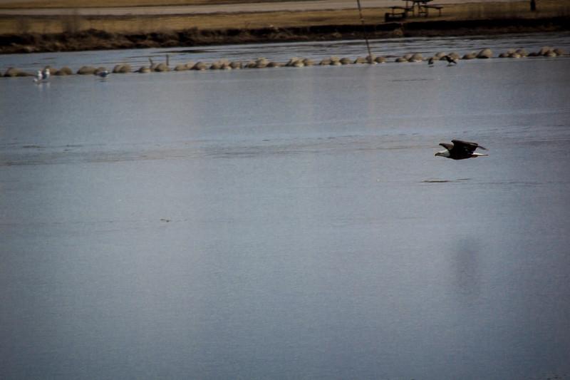 Eagle Soaring lake-7134.jpg
