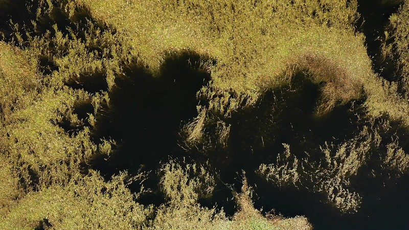 Available in 4K - Aerial top view looking into a volcanic caldera crater lake with an abstract pattern of plants in the water, at the Planalto da Achada central plateau of Ilha do Pico Island, Azores