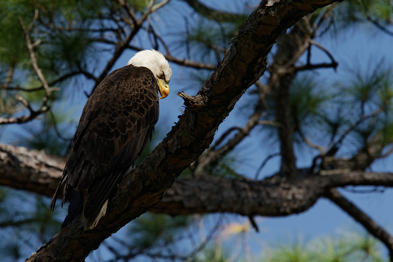 Bald Eagle - Rests after a large meal