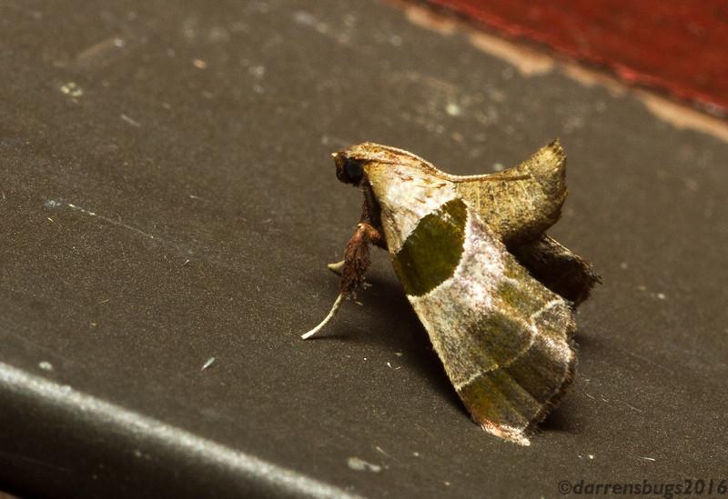 Dimorphic Tosale Moth, Tosale oviplagalis (Pyralidae), from Iowa.
