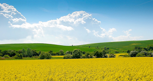 Rapeseed (Brassica napus)  Field near Halle, Germany
